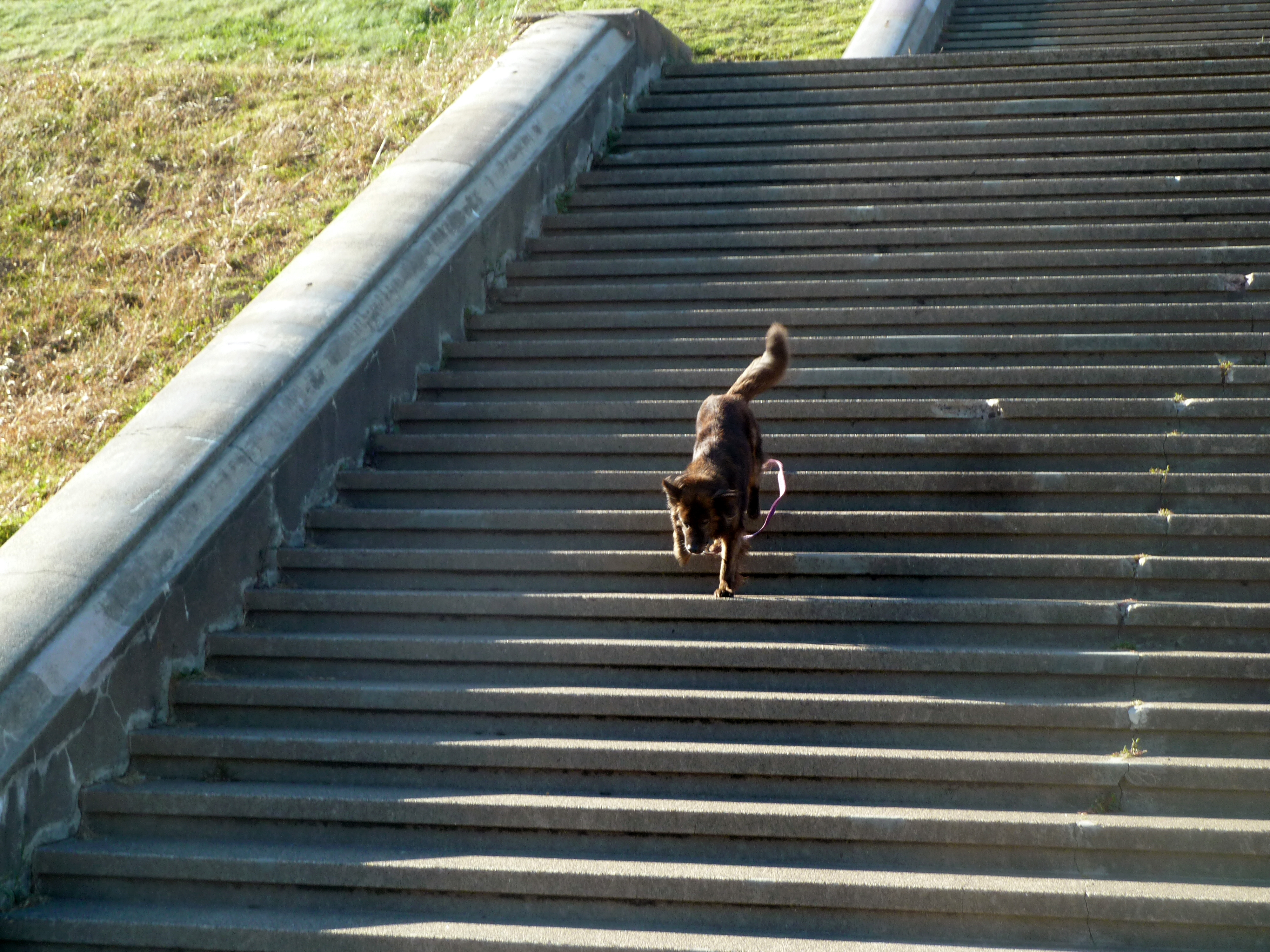 Peanut demonstrates his acquired skill for negotiating stairs.  (photo by D. Speredelozzi)