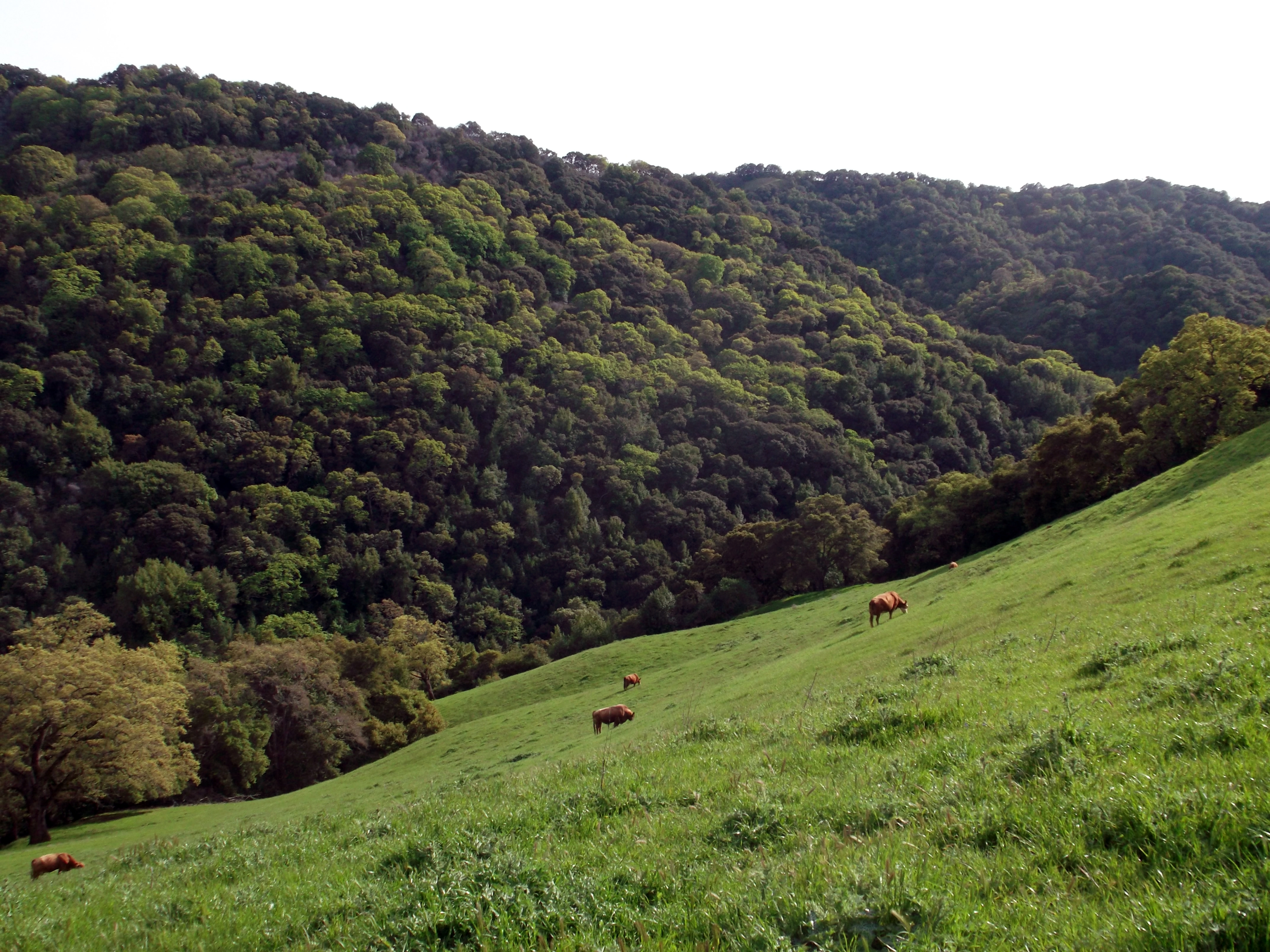 Get it while you can, cows.  Las Trampas Regional Wilderness, Contra Costa County. (photo by D. Speredelozzi)