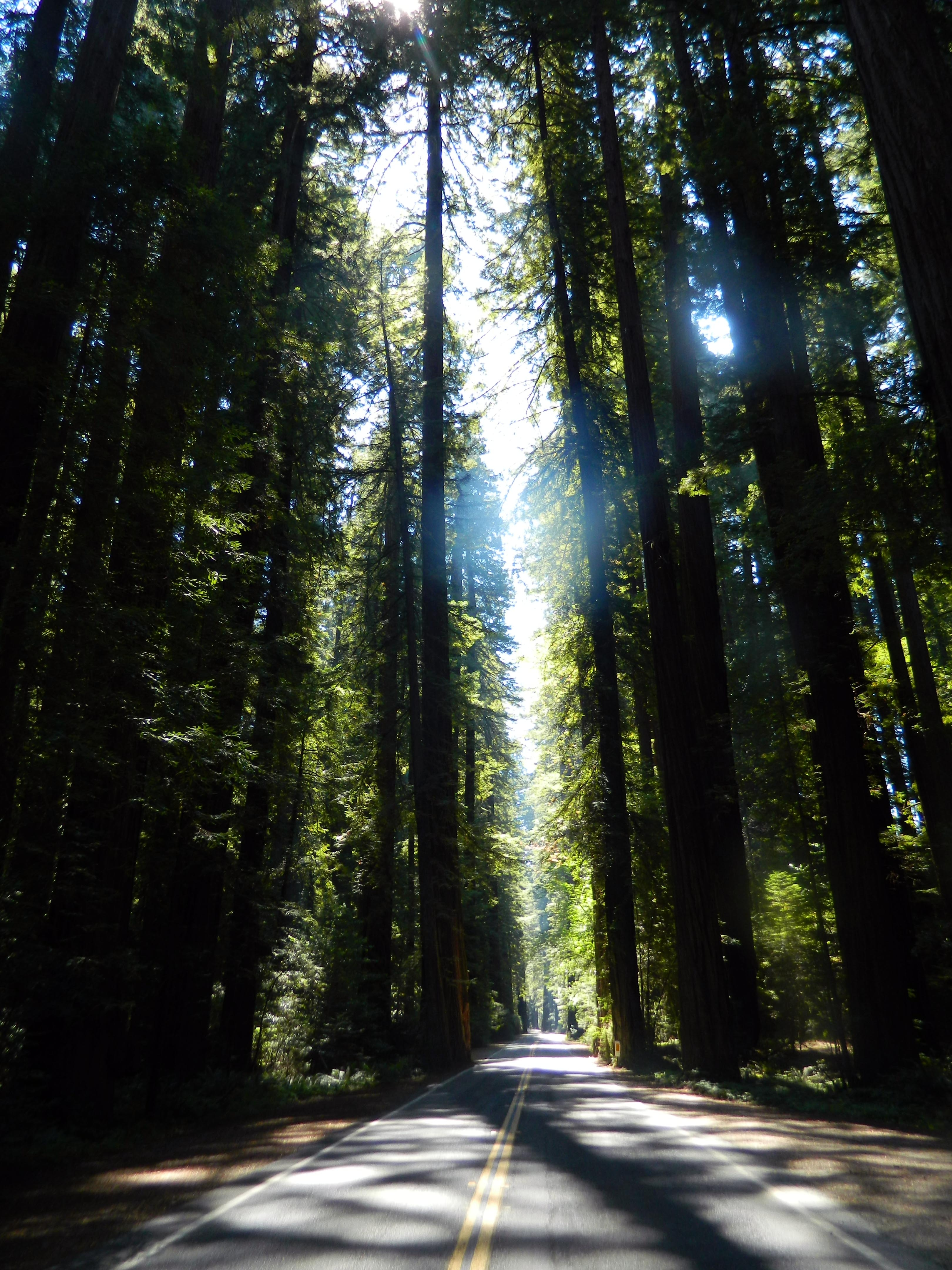 Old-Growth Redwoods along the Avenue of The Giants, Humboldt County. (photo by D. Speredelozzi)