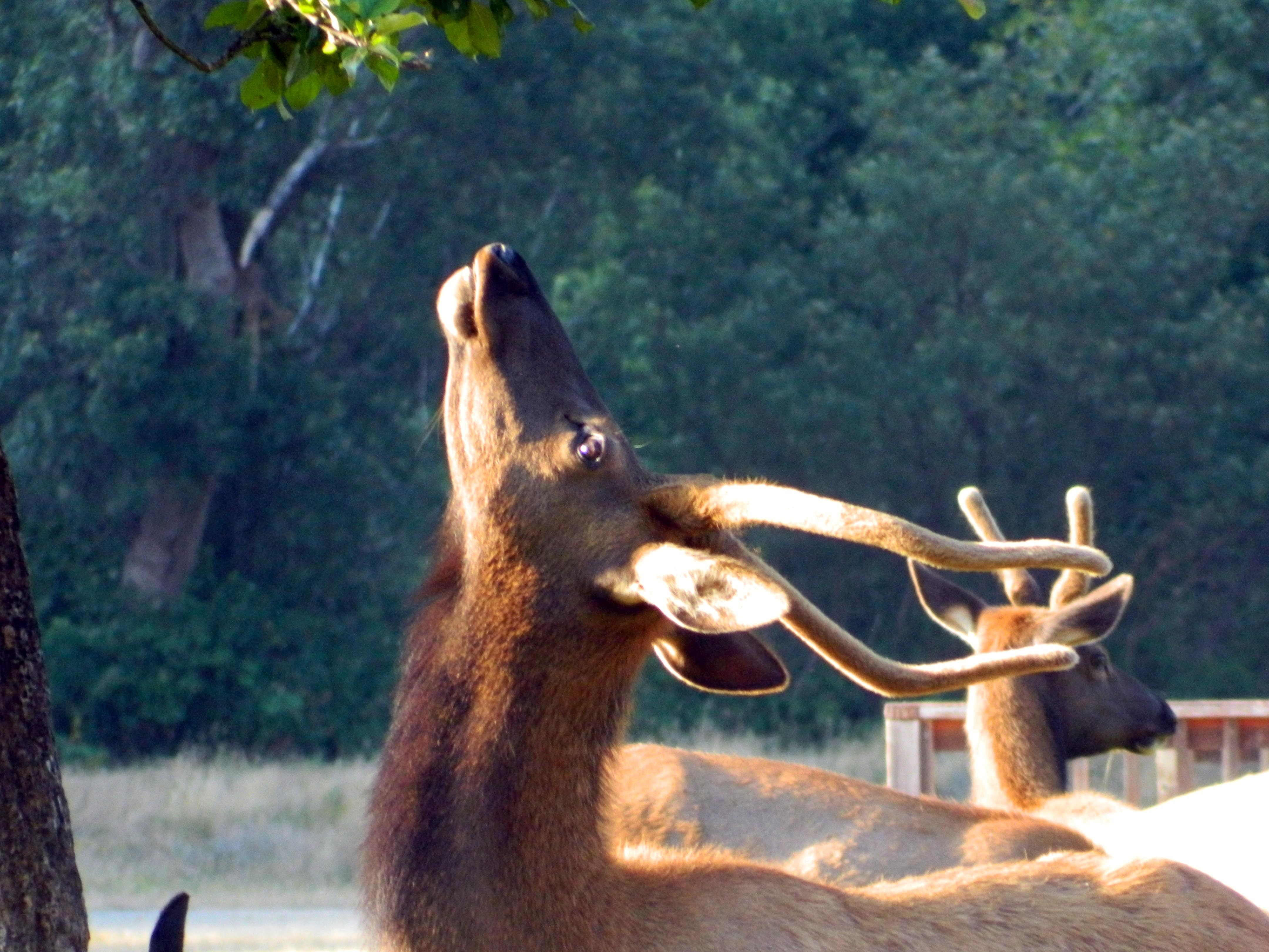 A Del Norte County Tule Elk does its best Rita Hayworth. (photo by D. Speredelozzi)