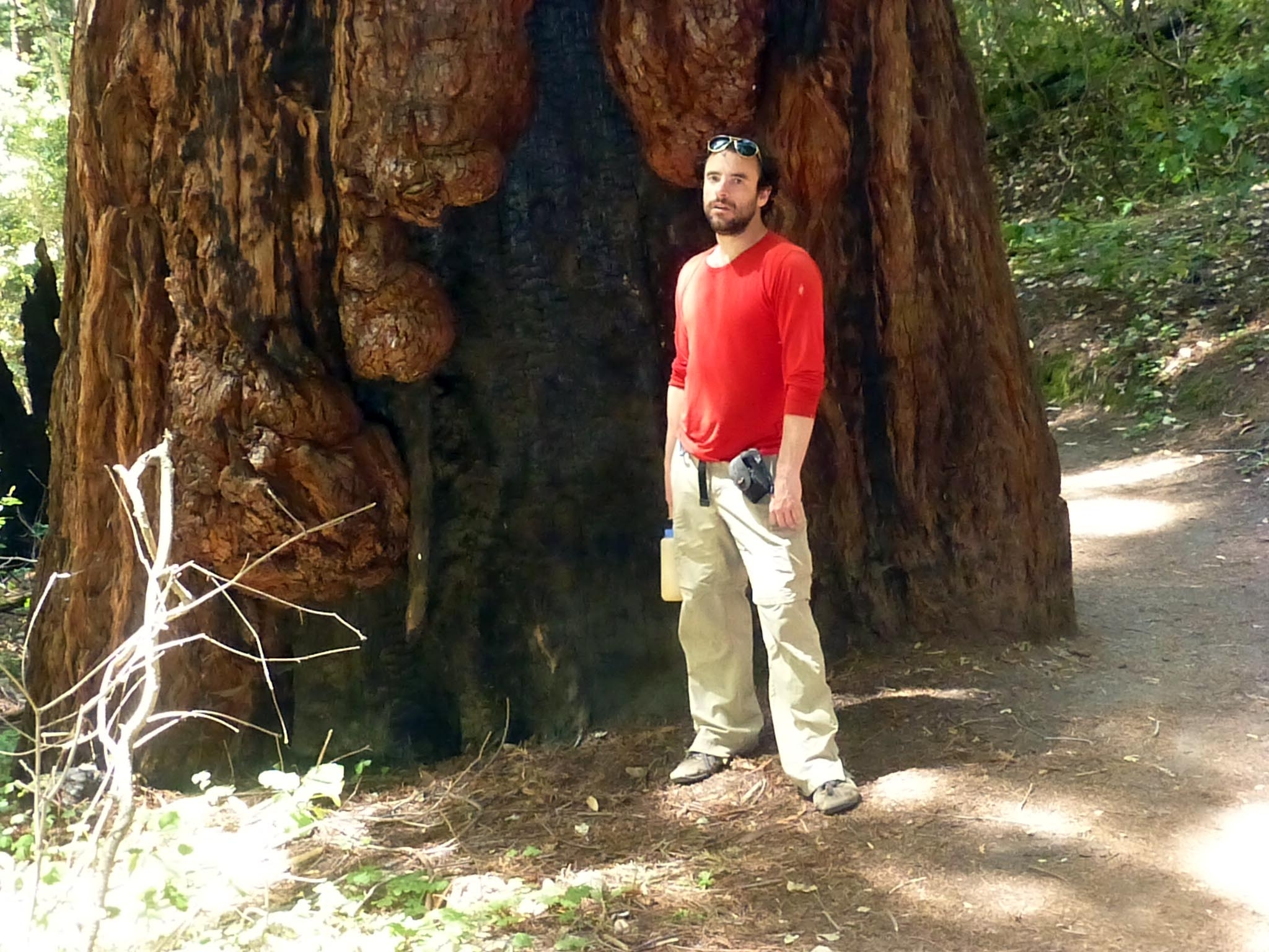This coastal redwood behemoth is so immense in scale that you can barely even see me standing in front of it. Look for a splotch of red. (photo by I. Stout)