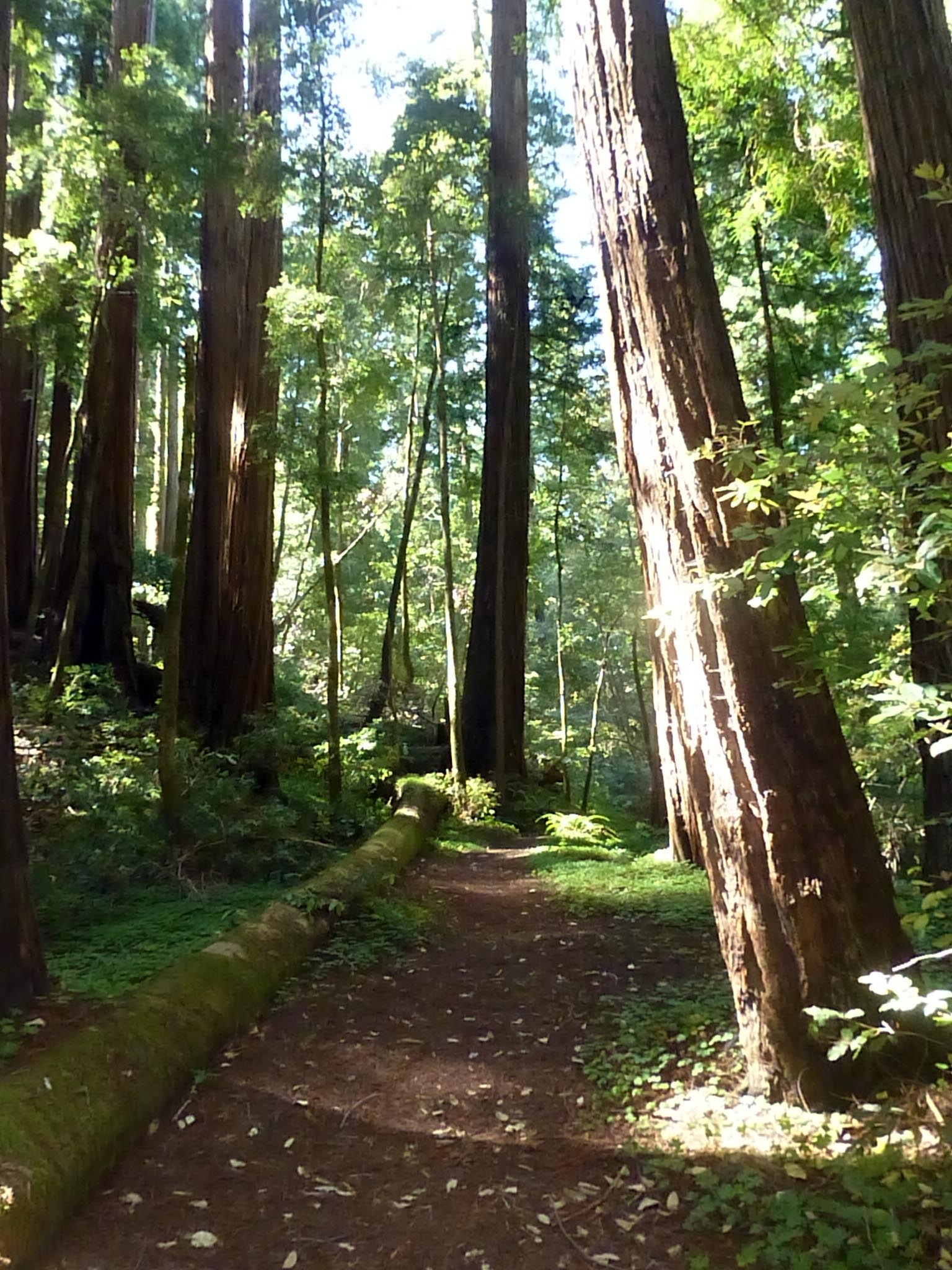Beneath the redwood canopy, the forest floor along the Timms Creek Trail can feel as soft as a wool carpet. (photo by D. Speredelozzi)