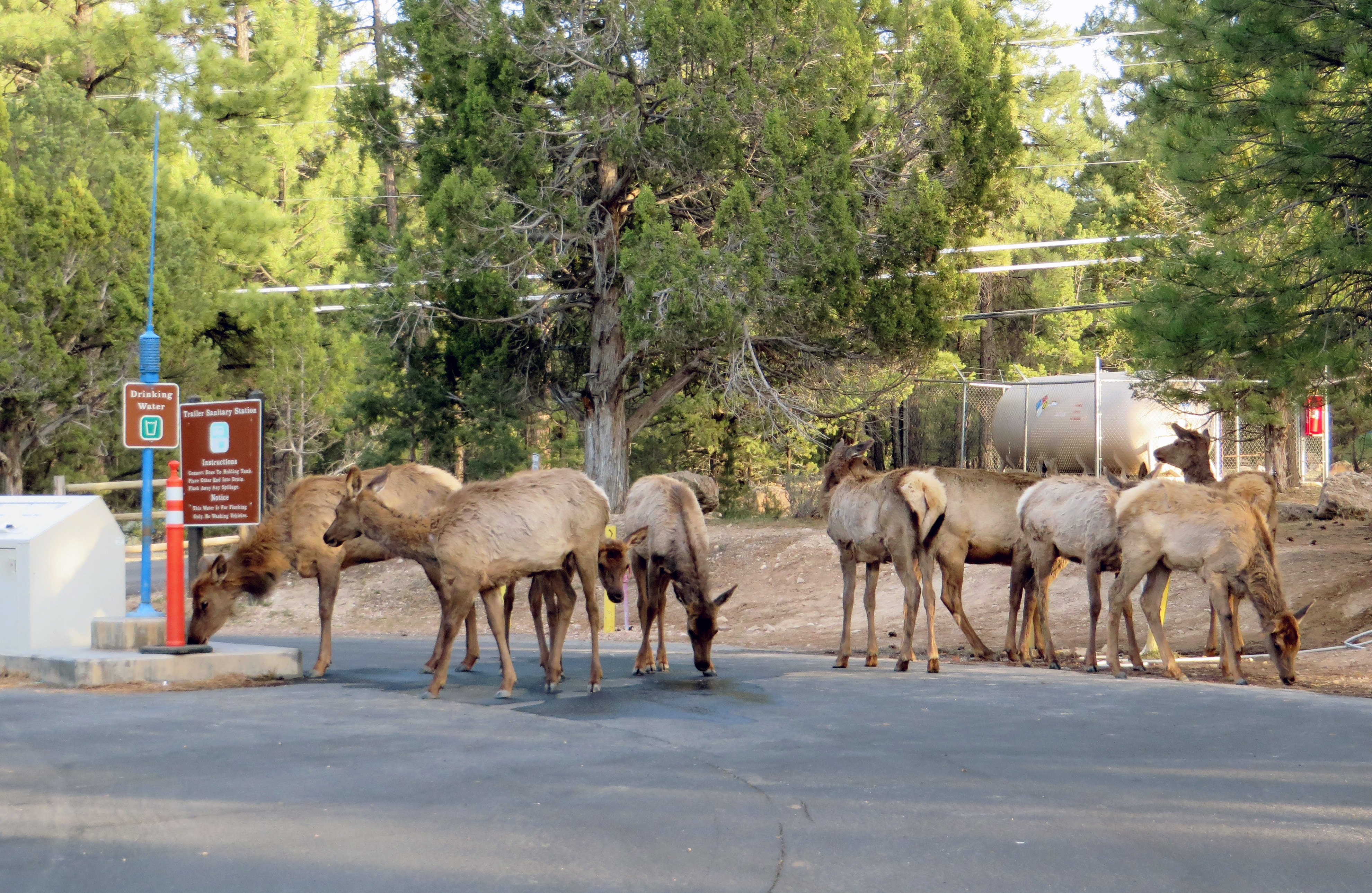 You know the world's gone to hell when the elk start huffing gas. (photo by D. Speredelozzi)