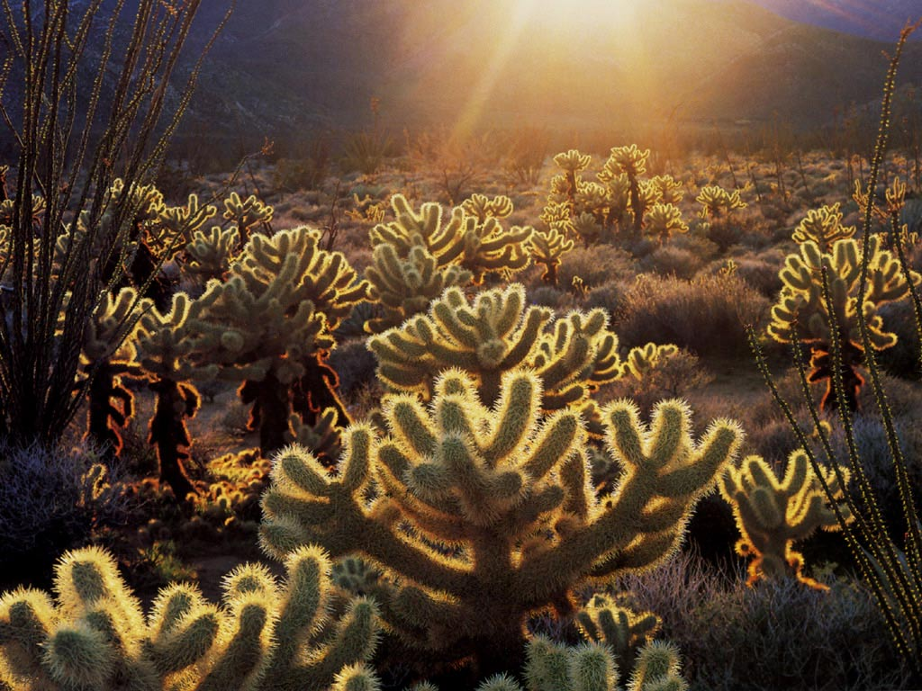 A field of cholla cacti.  Watch where you squat. (image property of www.erendesign.com)